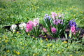 Pink white and purple hyacinths blooming in the garden Stock Images