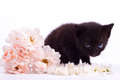 Pink an white rose with black cute kitten on Royalty Free Stock Photos