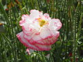 Pink and white ruffled poppy blooming in summer Stock Photography