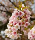 Pink white sakura with stamen blossom in sunny day Royalty Free Stock Photo
