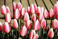 Pink and white striped tulips Stock Images