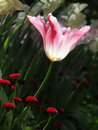 Pink and white tulip against  blurry background Royalty Free Stock Photo
