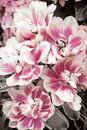 Pink and white tulips flowers close up Royalty Free Stock Images