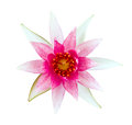 Pink and white water lily Royalty Free Stock Images