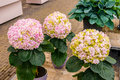 Pink, white and yellow Hydrangea hortensia flowers in pots, Keukenhof Park, Lisse, Holland Royalty Free Stock Photo