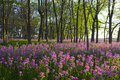 Pink wild flowers and forest Royalty Free Stock Photo