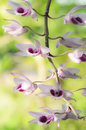 Pink wild orchid flowers and green background Royalty Free Stock Images