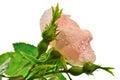 Pink wild rose, Royalty Free Stock Photo
