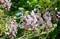 Pink wisteria trellis taken in the spring of japan Royalty Free Stock Images