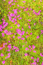 Pink woodsorrel oxalis corymbosa flowers Royalty Free Stock Images