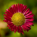 Pink and Yellow Daisy Royalty Free Stock Photography