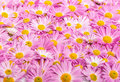 Pink and yellow flowers background perspective view Royalty Free Stock Photo