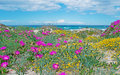 Pink and yellow flowers in platamona beach Royalty Free Stock Photo