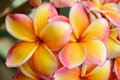 Pink and yellow frangipani flowers plumeria spp Stock Photography