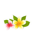 Pink and yellow frangipani (plumeria), exotic flowers isolated Royalty Free Stock Photo