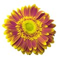 Pink-yellow gerbera flower on a white isolated background with clipping path.   Closeup.  For design. Royalty Free Stock Photo