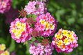Pink Yellow Lantana Stock Photos