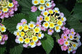 Pink and yellow lantana closeup of clusters of flowers against deeply veined dark green leaves Royalty Free Stock Images