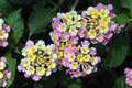 Pink and yellow lantana closeup of clusters of flowers against deeply veined dark green leaves Stock Photo