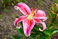 Pink and yellow lily blossoms. Royalty Free Stock Photo
