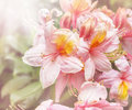 Pink yellow rhododendron flowers toned Stock Photography