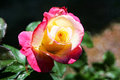 Pink and yellow rose bloom a beautiful starting it s on a bright day Royalty Free Stock Images
