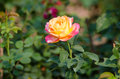 Pink and yellow rose blooming in garden Royalty Free Stock Photo