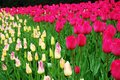 Pink and yellow tulips Royalty Free Stock Photo