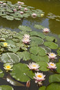 Pink and yellow water lilies Royalty Free Stock Photography
