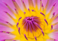 Pink yellow water lily for abstract background Royalty Free Stock Photo