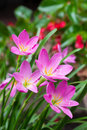 Pink zephyranthes flowers. Rain Lily