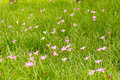 Pink zephyranthes grandiflora