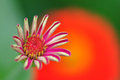 Pink zinnia in beautiful background green and orange Royalty Free Stock Photography