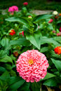 Pink zinnia flower Royalty Free Stock Images