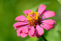 Pink zinnia flower color in garden Royalty Free Stock Image