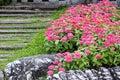 Pink Zinnia Flower In Garden