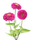Pink zinnia flower isolated on white Stock Photography