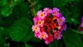 Pinkies Flower (lantana Camara)