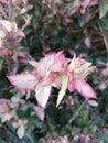 Pinkish creamy leaf Royalty Free Stock Photo