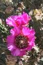 Pinkish-purple cactus blossoms Royalty Free Stock Photo
