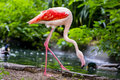 Pinkish white greater flamingo bird Imagens de Stock Royalty Free