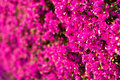 Pinkness a wall covered with bouganville flowers Stock Images