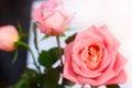 Pinky Peachy Rose