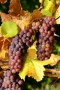 Pinot Gris Autumn Stock Images
