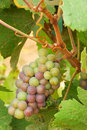 Pinot gris grapes growing about weeks before harvest in a vineyard in the umpqua valley near roseburg or Royalty Free Stock Photography