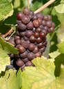 Pinot Gris/Grigio Grapes Stock Photos