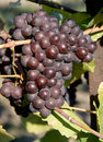 Pinot Gris/Grigio Grapes Royalty Free Stock Photo