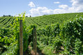Pinot gris vineyard in the okanagan valley british columbia early summer Royalty Free Stock Photos