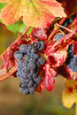 Pinot Noir Royalty Free Stock Photography