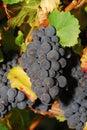 Pinot Noir Royalty Free Stock Photos